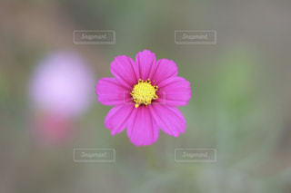 小さな秋桜のお花 X-T10の写真・画像素材[842213]