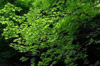 新緑  若葉  X-T10の写真・画像素材[853295]