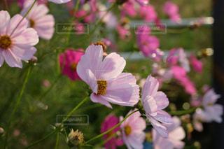 秋桜 X-T10の写真・画像素材[854001]