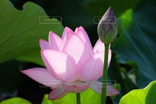 蓮の花 - No.874474