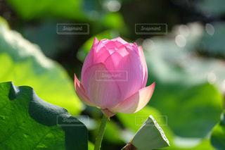 蓮の花 - No.874475