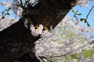 春  桜  X-T10 - No.886805