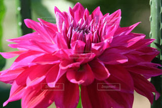 ダリア  ピンク色   X-T10の写真・画像素材[893271]