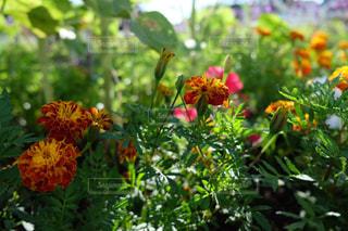 朝の花壇  X-T10の写真・画像素材[895829]