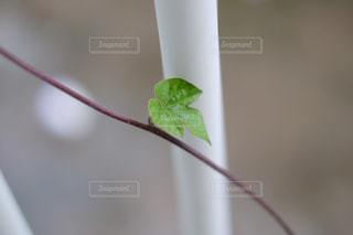 琉球朝顔の葉っぱ  三つ葉  X-T10の写真・画像素材[899132]