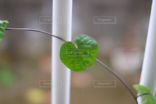 琉球朝顔の葉っぱ  丸  X-T10の写真・画像素材[899133]