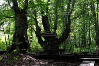 森の大きな木   あがりこ大王  X-T10の写真・画像素材[900620]