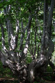 森の大きな木   あがりこ女王  X-T10の写真・画像素材[900874]