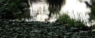 睡蓮の池  X-T10の写真・画像素材[910636]