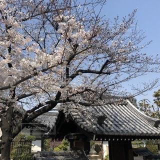 桜満開の写真・画像素材[1082150]