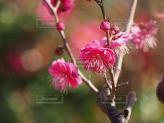 梅の写真・画像素材[1754518]