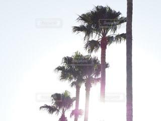 椰子の木の写真・画像素材[1767920]