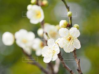 梅の写真・画像素材[1768888]
