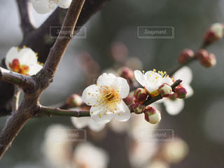 梅の写真・画像素材[1796615]