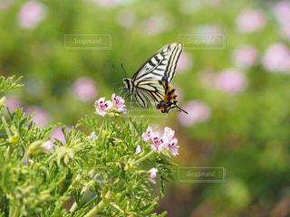 蝶とゼラニウムの写真・画像素材[2114055]