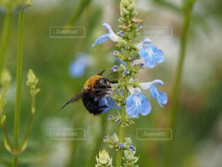 ブルーサルビアの蜜を吸う熊ん蜂の写真・画像素材[2153022]