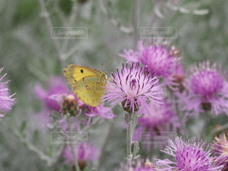 蝶とハーブの写真・画像素材[2153715]