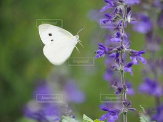 蝶の舞の写真・画像素材[2184883]