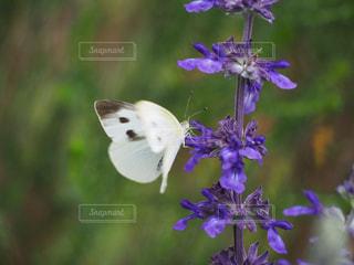 蝶の舞の写真・画像素材[2184888]