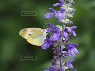 蝶とブルーサルビアの写真・画像素材[2199993]