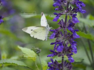 蝶とブルーサルビアの写真・画像素材[2200100]