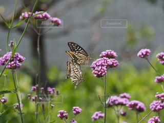 蝶  2匹の舞いの写真・画像素材[2239811]