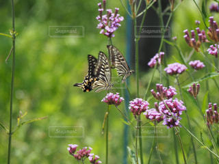 蝶  仲良しな2匹の写真・画像素材[2250734]