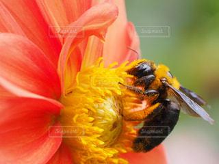 ダリアと熊ん蜂の写真・画像素材[2304178]