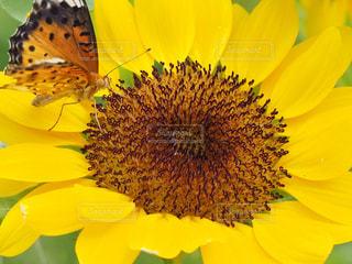 ひまわりと蝶の写真・画像素材[2362388]