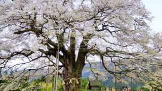 大きな木の写真・画像素材[1409929]