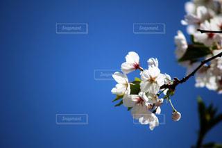 白い桜の写真・画像素材[1091361]