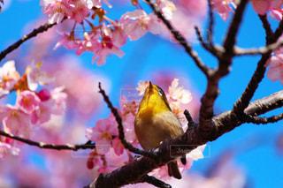河津桜とメジロの写真・画像素材[1103911]