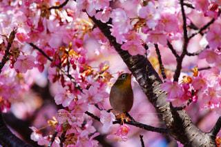 河津桜とメジロの写真・画像素材[1106286]