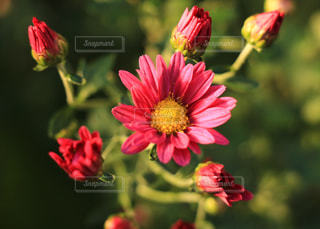 菊の写真・画像素材[876033]