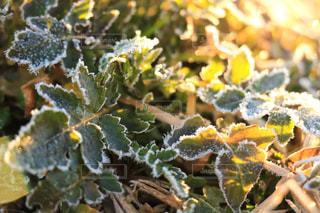 霜の葉の写真・画像素材[939319]