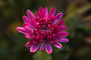 菊の写真・画像素材[958462]