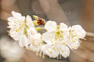 サクランボの花の写真・画像素材[1047668]