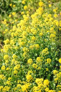 菜の花の写真・画像素材[1056857]