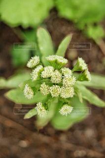 蕗の花の写真・画像素材[1061400]