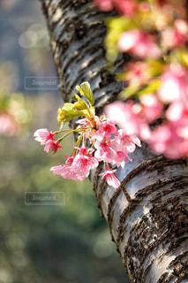 河津桜の写真・画像素材[1064832]
