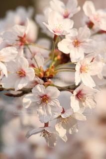 桜の写真・画像素材[1089960]