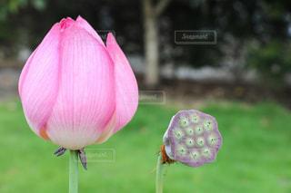 ハスの花の写真・画像素材[1188254]