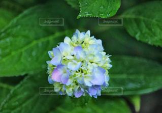 雨の日の紫陽花の写真・画像素材[1226981]