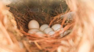 ジュウシマツの卵の写真・画像素材[1270055]