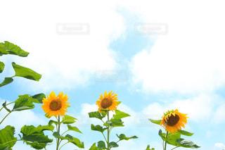 青空と向日葵の写真・画像素材[1276411]