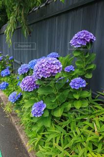 紫陽花の写真・画像素材[1290458]