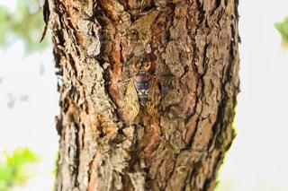蝉の写真・画像素材[1358757]