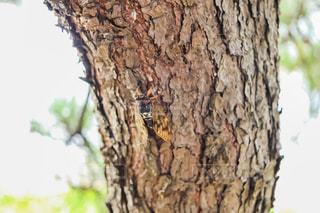 蝉の写真・画像素材[1358760]