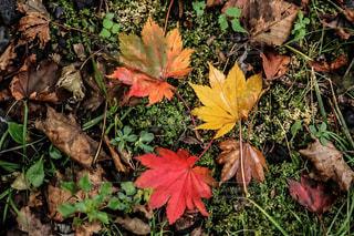 紅葉した落ち葉の写真・画像素材[1516872]