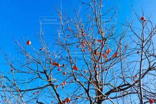 青空と柿の木の写真・画像素材[1635721]